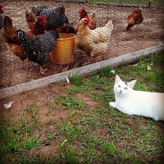 "What's funny is that the cat and the yellow chicken are both thinking the same thing – ""if I could just get through this fence, I could SO get that!""."