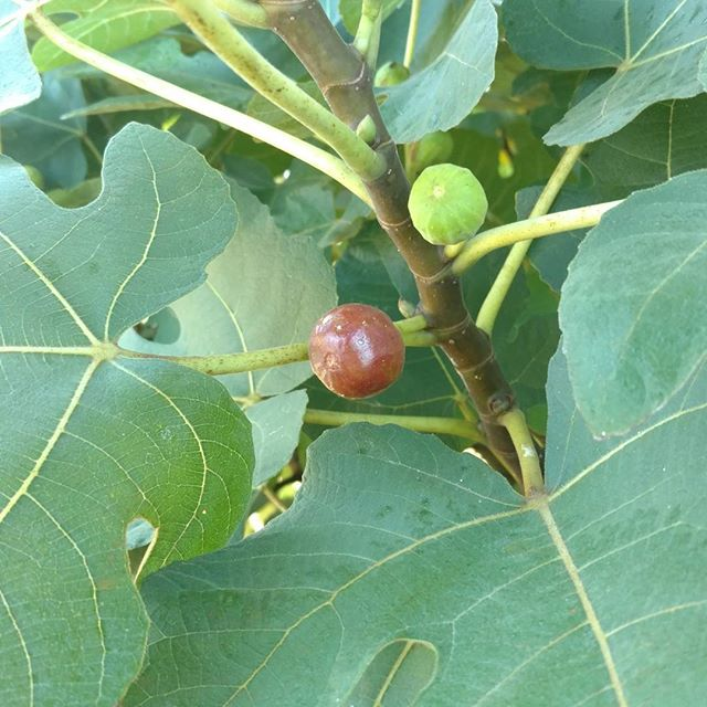 Yay! The figs are finally ripening! This will be the first year we get a good crop off the LSU tree. Look for some tasty goodness available at soon!