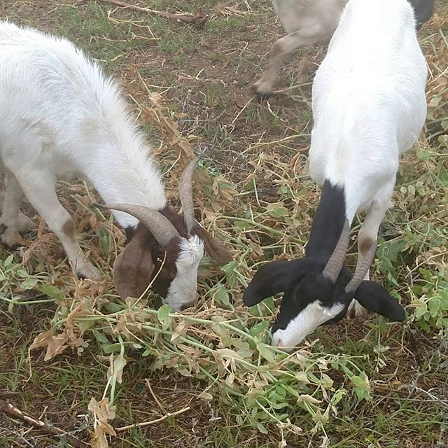 Being a sustainable farm means integrating different parts of the farm together in a way that makes the best use of everything we have.  Here Sally and Princess are eating some of the older sugar snap peas vines that we cleaned out to make room for the next crop planned for that space. There's still a few pea pods on the vines, and there is always a race to find them before the other goats. Humans aren't the only ones who love sugar snap peas! Of course, we don't usually follow up with the rest of the plant for dessert. 🤣