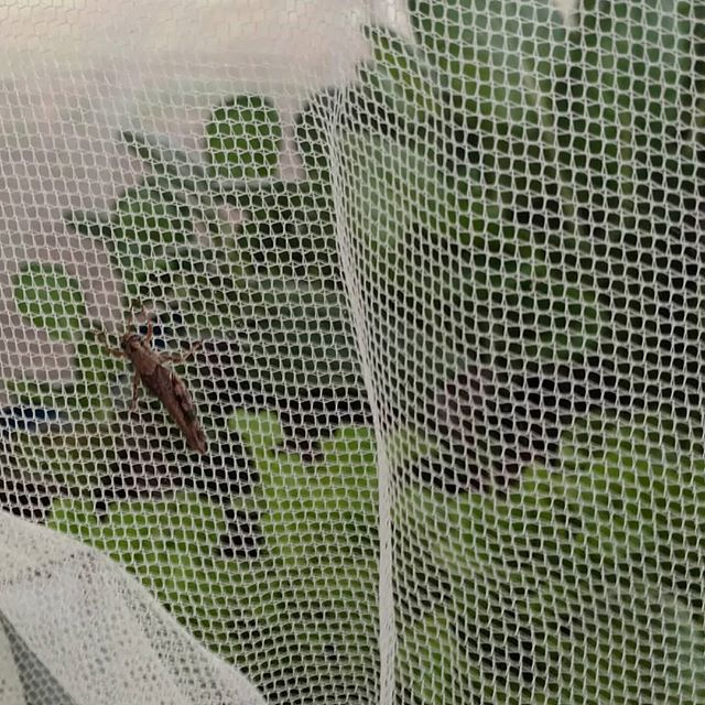 And this is why there is mosquito netting over my aquaponics grow beds.
