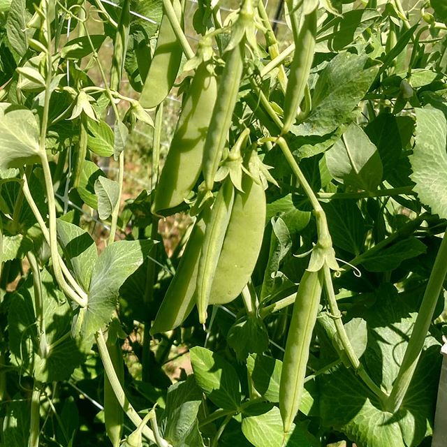 Dear everyone that was asking when the sugar snap peas (edible pods!) would be available…. . Come and get 'em! 🤣 . Order online at www.MarketatDothan.com for pickup next Friday in Dothan, Enterprise or Daleville/Fort Rucker. (or if you're waaaay out in the boonies near Kinston/Opp, ask about on farm pickup) .