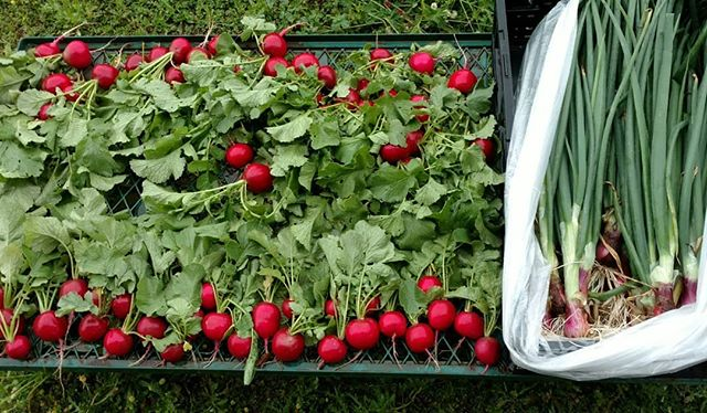 Just harvested some beautiful radishes and spring onions for the farmers market at Dothan Nurseries tomorrow. (and no, no photo filters were used, they really are that red ) . We'll harvest tatsoi and senposai (Asian greens – delicious!) and some green garlic just before we leave in the morning. The spinich is already in the cooler, and some of our pastured poultry and eggs will be making an appearance also, along with other goodies . Come see us tomorrow and let's talk about the freshest naturally grown produce in the Wiregrass, available all year round. .