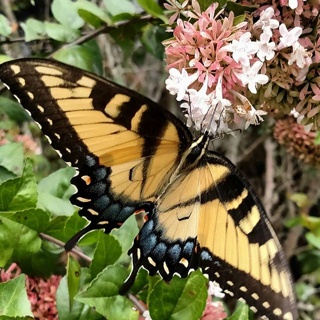 Always good to see more pollinators on the farm – especially when they are this pretty!